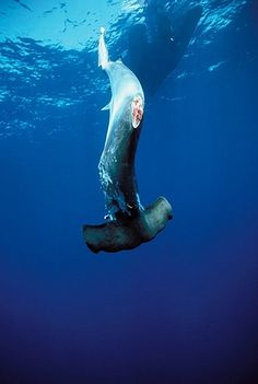 """hammerhead shark no fins    Horrible. This is what happens for the purveyors of """"shark fin soups"""" -fishermen cut off the fins while the shark is alive, throw it back in the ocean, where they soon drown. A waste, and why many sharks are endangered."""