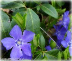 25 Creeping Myrtle Vinca Vines Blue Flowering Evergreen Ground Cover Steppable   eBay $25