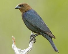 adult male brown-headed cowbird. identified in the Ft. Davis State Park in May 2014.