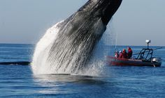 Whale celebrates the freedom of its friend cut free from lobster nets with incredible leap by hero fishermen's boat. The stunning images were captured by whale-watcher guide off the coast of Nova Scotia, Canada. Real Life Heros, Beast Creature, Save The Whales, Pirates Cove, Humpback Whale, Whale Watching, Photos Of The Week, Science And Nature, Marine Life