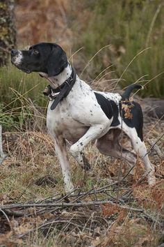 Pointers 500 Articles And Images Curated On Pinterest In 2020 English Pointer Dogs Pointer Dog