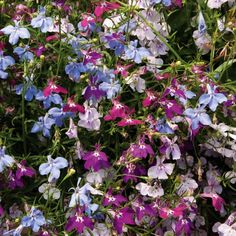 Lobelia 'Cascade Improved Mixed' (Garden Ready) from Thompson & Morgan - experts in the garden since 1855 Coconut Lotion, Million Bells, Plant Order, Summer Plants, Flower Names, Order Flowers, Annual Plants, Spring Garden, Rose Buds