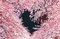 Heart In Nature, Nature Nature, Mother Nature, Sakura Cherry Blossom, Cherry Blossoms, Japanese Landscape, Japanese Flowers, Kawaii Shop, Love Wallpaper