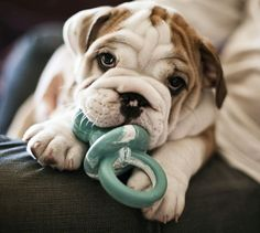 Bulldog puppy. @Hanan El Khatib El Khatib Southard I'll take him for my birthday please.