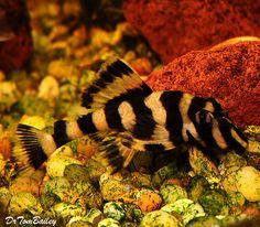 A Butterfly Plecostomus. Aquarium Catfish, Saltwater Aquarium Fish, Tropical Aquarium, Saltwater Tank, Red Fish Blue Fish, One Fish Two Fish, Tropical Freshwater Fish, Freshwater Aquarium Fish, Beautiful Tropical Fish