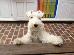 """""""Two pints of lager and a packet of crisps please"""", says the very cheeky British Wire Fox Terrier. Lakeland Terrier, Wire Fox Terrier Puppies, Welch Terrier, Baby Dogs, Doggies, Wire Haired Terrier, Wirehaired Fox Terrier, Smooth Fox Terriers, Dog Best Friend"""