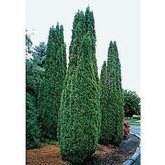 Thuja Degroot's Spire Trees And Shrubs, Trees To Plant, Outside Living, Outdoor Living, Outdoor Decor, Home And Garden Store, Columnar Trees, Picture Tree, Deer Resistant Plants