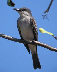 Gray Kingbird (Tyrannus dominicensis) - seen in Florida