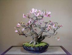 桜の盆栽 - Google Search