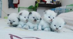 5 little himalayan kittens