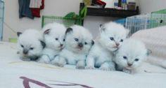 5 little himalayan kittens