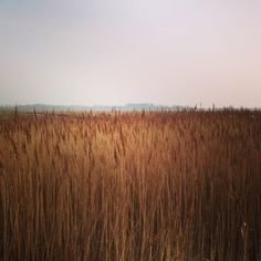 Reed Fields in Fort Paull, East Riding Of Yorkshire