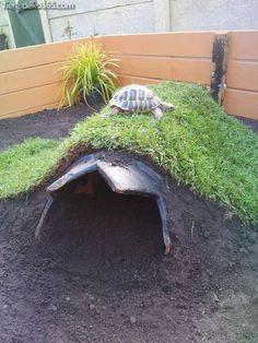 I have seen numerous suggestions for Russian tortoise diet Some great Some awful. Russian Tortoises are nibblers and appreciate broad leaf plants. The best Tortoise House, Tortoise Habitat, Tortoise Table, Tortoise Food, Turtle Care, Pet Turtle, Outdoor Tortoise Enclosure, Turtle Enclosure, Turtle Homes