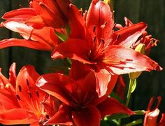 How to care for Asiatic lillies Lily Garden, Asiatic Lilies, My Roots, Landscaping Plants, Growing Flowers, Plant Care, Outdoor Spaces, Flower Power, Bloom