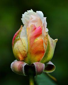 Rosa Renaissance