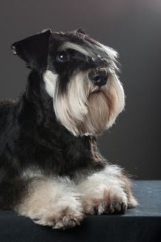 Aww what an adorable little black and silver Miniature Schnauzer, just so cute