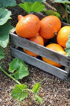 squash in a wooden crate Rabbit Garden, It's The Great Pumpkin, Pumpkin Farm, Christmas Tree Farm, Flower Farm, Autumn Garden, Autumn Theme, Fall Harvest, Kraut