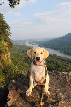Carolina Skysweeper Santos Yellow lab puppy. Trail dog