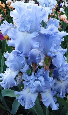 Photo of Tall Bearded Iris (Iris 'Barbara Brylska') uploaded by dimson67 #blueflowers Flor Iris, Beautiful Roses, Beautiful Gardens, Beautiful Flowers Garden, Pretty Flowers, Flower Show, My Flower, Iris Garden, Blue Garden