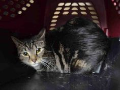 """THALAMUS - A1064576 - - Brooklyn Please Share: **TO BE DESTROYED 02/10/16** NEW HOPE RESCUE is needed for THALAMUS, an attractive spayed sweetie who was abandoned at the shelter by her previous owners. Her fear levels are off the charts so her New Hope rating comes as no surprise. What is surprising, is that wonky name. Seriously, """"thalamus?"""" In any event, please read her surrender notes to get a better picture of how this young lady acts when she doesn&#8217"""