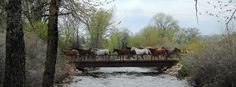 Watching the Vee Bar Guest Ranch remuda cross the bridge by the cabins every morning and evening during the Literature & Landscape of the Horse retreat in June.  Love it!