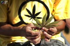 Weed | Marijuana | Cannabis