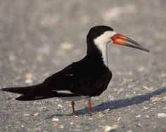 The strange, uneven bill of the skimmer has a purpose: the bird flies low, with the long lower mandible plowing the water, snapping the bill shut when it contacts a fish. Strictly coastal in most areas of North America, Black Skimmers are often seen resting on sandbars and beaches. Unlike most birds, their eyes have vertical pupils, narrowed to slits to cut the glare of water and white sand. Flocks in flight may turn in unison, with synchronized beats of their long wings. The world's three…