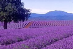Fields and fields of lavender in Provence...............