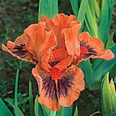 Tiny Tod Jive Iris