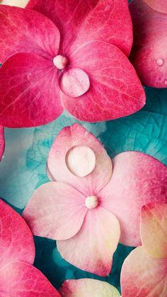 Dewdrops on pink flowers. Hydrangea Wallpaper, Pink Wallpaper, Colorful Wallpaper, Flower Wallpaper, Nature Wallpaper, Phone Screen Wallpaper, Cellphone Wallpaper, Iphone Wallpaper, Beautiful Flowers Wallpapers