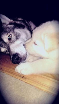 Wolfdog For The Holidays! 11 Boys And 2 Girls. in Salem, Oregon - Hoobly Classifieds