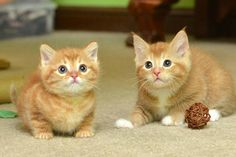 A ginger cat mama and her two ginger babies are now in good hands of the volunteers at Wonder Cat…