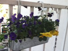 Little pansies on my balcony.