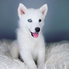 I'll be dreaming about this cutie tonight! @stormthehusky by joeygraceffa