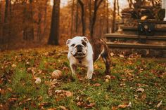 One of the tops picks dog foods for Bulldogs is the Royal Canin Medium Bulldog Dry Dog Food.🐕 Find out The 9 Best Dog Foods For Bulldogs 😙 Best Dog Food, Best Dogs, Dressage, Cheap Dog Kennels, Diamond Dogs, Sick Dog, Guide Dog, Dog Owners, Animales
