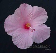 Hybiscus flower in pink