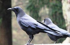 crows are among the most intelligent birds in the world. They have the ability to solve complicated problems and adapt to tough situations which can easily be seen in the way they gather their food and collect resources.