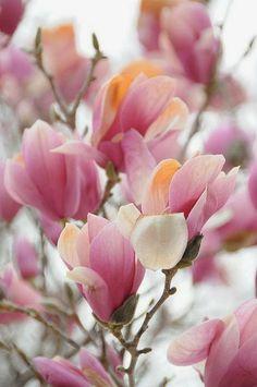 I adore Magnolias.                                                                                                                                                     More