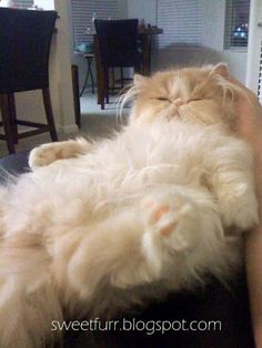 """If cats could talk, they would say things like, 'Hey, I don't see a problem here.'"" --Roy Blount, Jr #PersianCat"