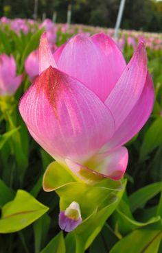 Curcuma Hybrid Plant | ... Curcuma Thai, Curcuma Flowers, Curcuma rhizome, Curcuma bulbs, Curcuma