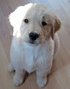 Carly-the-Golden-Retriever #dale-holman-maine