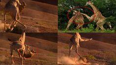 사자가 기린에게 무참하게 짓밟혔다!  기린 vs 사자 Giraffe vs Lion fight