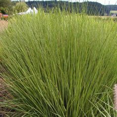 "molinia caerulea ""moorhexe"" Coastal Gardens, Ornamental Grasses, Green Grass, Garden Plants, Landscape Design, Gardening, Floral, Gardens, Shops"