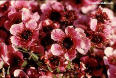Leptospermum scoparium I Love, Green, Flowers
