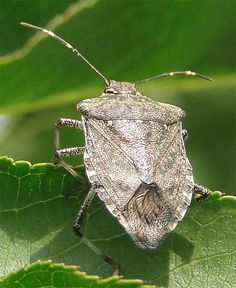 This is a cool article that outlines alternative methods to deter stink bugs from crops. #StinkBugs
