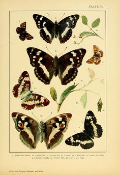 "jomobimo: "" Plate VI: British and European butterflies and moths (Macrolepidoptera) 1895 """