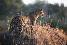 A leopard surveys his surroundings in South Luangwa