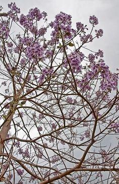 Title:  Rare Foxglove Tree - Paulownia Tomentosa    Artist:  Valerie Garner   Medium:  Photograph - Photography
