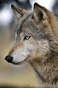 A beautiful wolf with piercing eyes, watching and waiting.... #dogsinpictures #wolf #wild