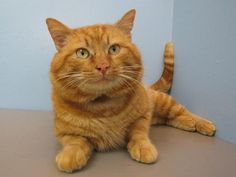 Did this handsome cat catch your eye?  His name is Garfield, and like his namesake, he is a delightfully droll cat who will fill you with joy everyday.  We don't know much about Garfield's experience with other animals or young children, so any introductions to resident pets should be slow and supervised.  Garfield may not like lasagna, but he loves people and hopes to find a loving family to shower with affection, if that could be your family, visit with Garfield today!